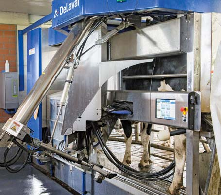 Cow on automatic milking system