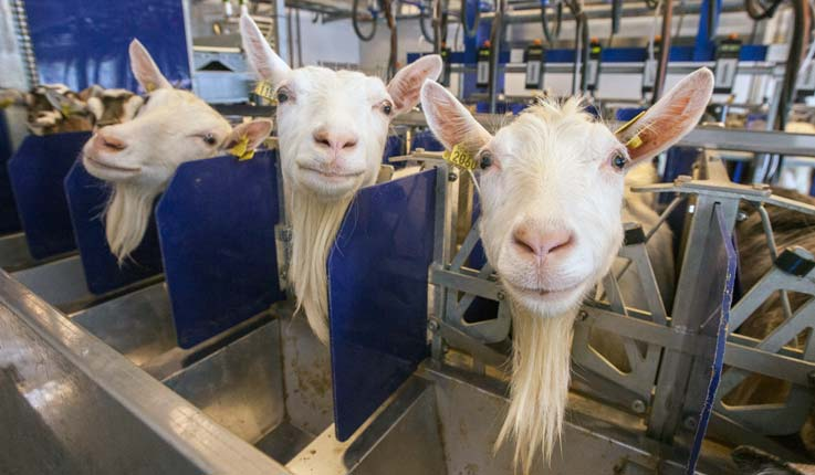 Milking goats, conference Moscow
